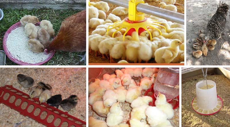 Первые дни ухода за цыплятами бройлера кормление